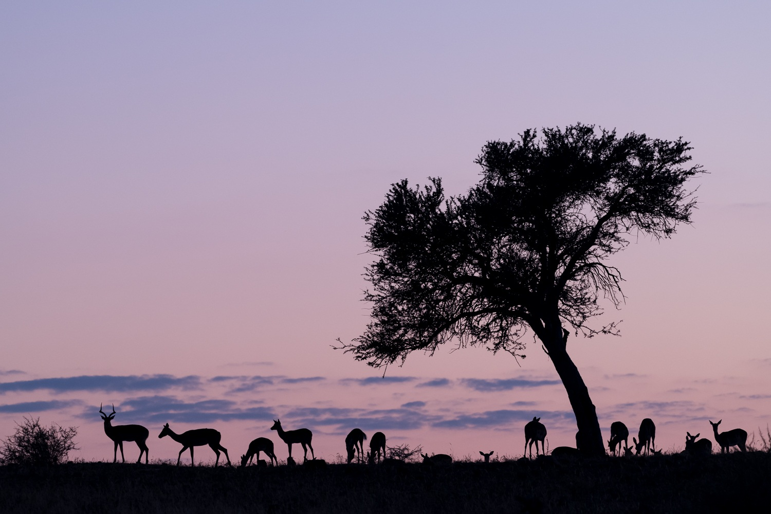 Impala group at dawn, Namibia.