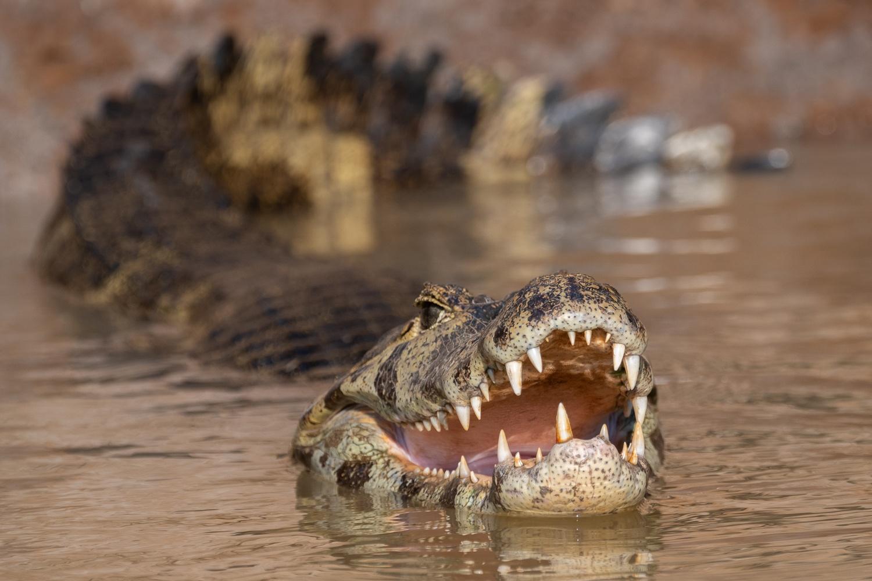 Yacare caiman, Pantanal, Brazil.