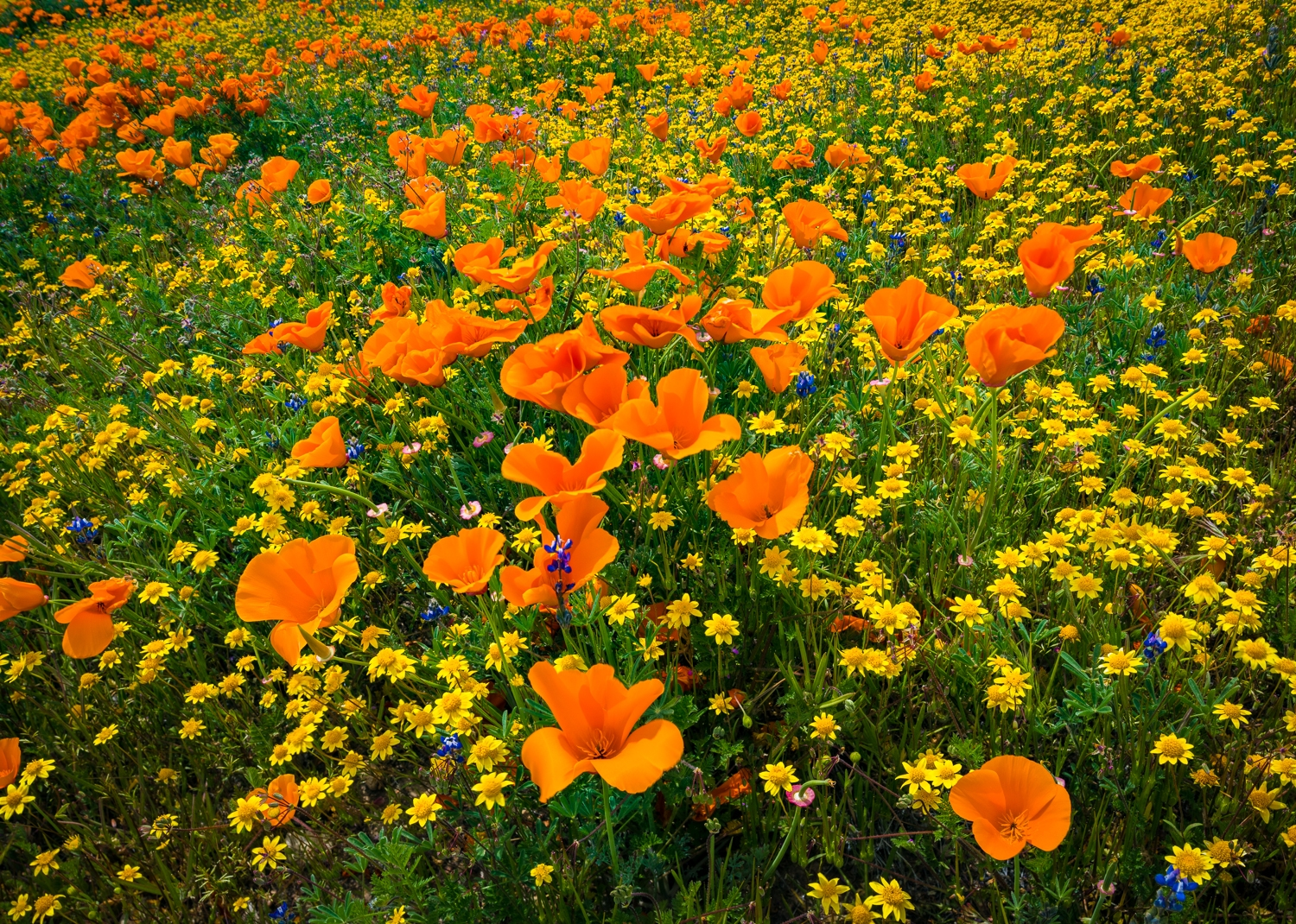 California poppies and goldfields, Mojave desert, California.