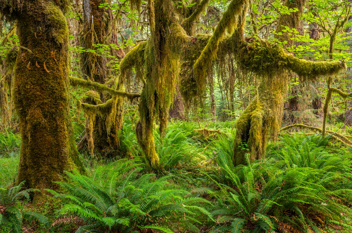 Moss-covered sitka spruce and sword ferns, Olympic National Park, Washington.