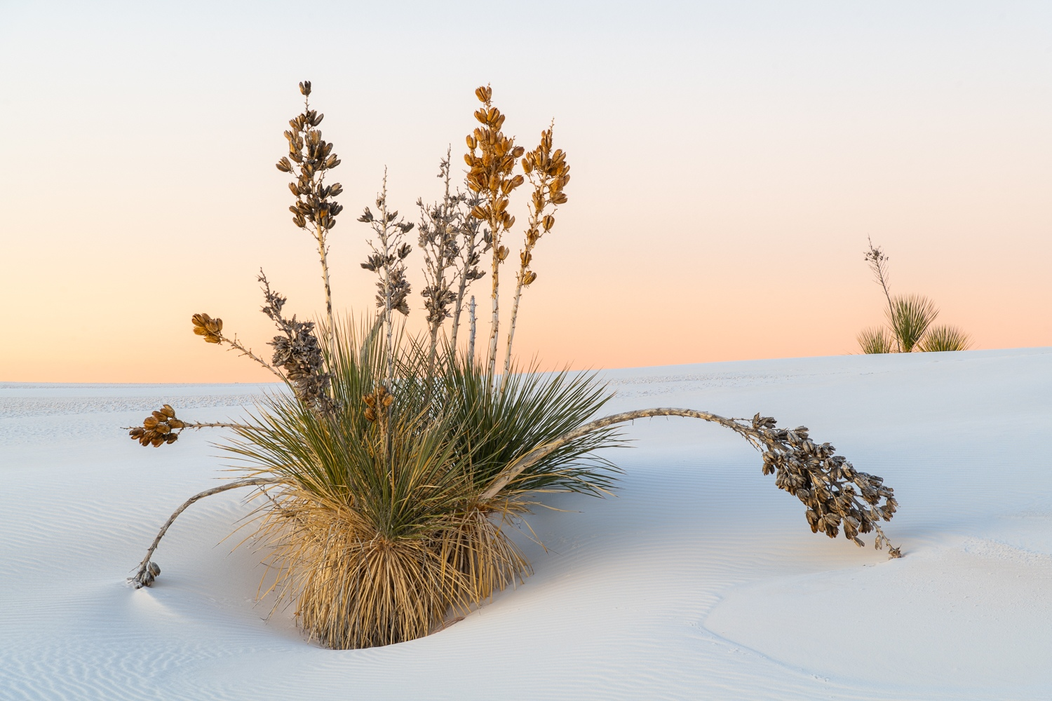 Soaptree yucca and gypsum dunes, White Sands National Park, New Mexico.