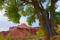 Cottonwood tree and The Castle, Capitol Reef National Park, Utah.