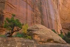 Juniper and canyon wall, Long Canyon, Utah.
