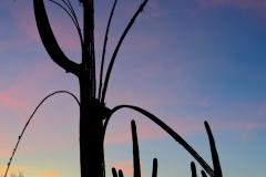 Saguaro cactus at twilight, Arizona.