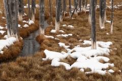 Dead lodgepole pines near Tangle Creek, Yellowstone NationalPark.