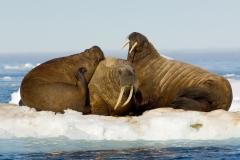 Walrus on ice floe, Spitsbergen.