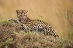Young leopard, Masai Mara, Kenya.