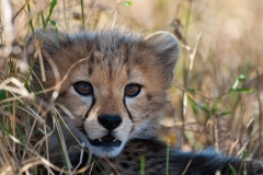 Cheetah cub, Botswana.