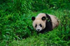 Panda, China.