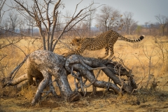 Cheetah, Botswana.