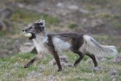 Arctic fox taking eider egg, Spitsbergen.