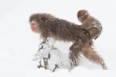 Snow monkey with baby, Japan.