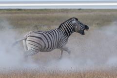 Common zebra, Etosha National Park, Namibia.