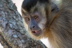 Black-capped capuchin monkey, Pantanal, Brazil.
