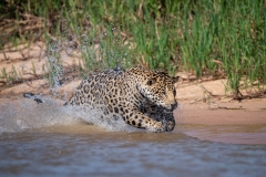 Jaguar lunging for prey, Pantanal, Brazil.