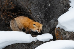 Red fox, Yellowstone National Park.
