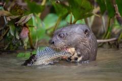 Giant river otter eating catfish, Pantanal, Brazil.