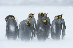 King penguins in ground blizzard,  South Georgia.