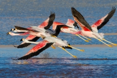 Andean flamingos, Bolivia.