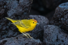 Yellow warbler on lava, Galapagos.