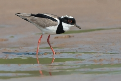 Pied lapwing, Brazil.