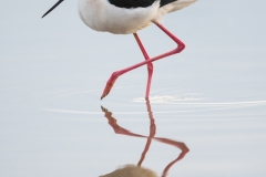 Black-necked stilt, Arizona.