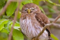 Sleepy pygmy owl, Pantanal, Brazil.