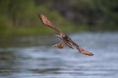 Roadside hawk with fish, Brazil.