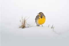 Meadowlark in winter, New Mexico.