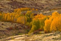Quaking aspens in autumn, Colorado.
