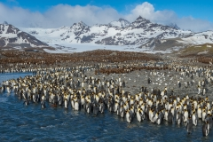 King penguin colony, St. Andrew's Bay, South Georgia.