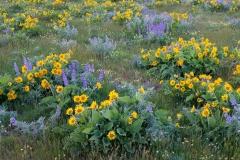 Balsamroot and lupine, Oregon.