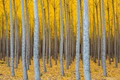 Poplar plantation in autumn, Oregon.