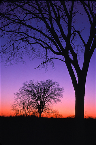 American elms at winter twilight, K25.