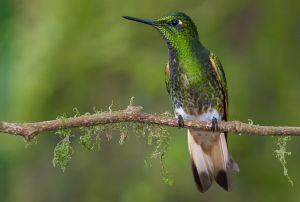 Buff-tailed coronet hummingbird.