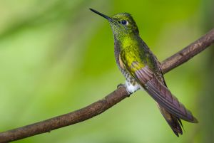 Buff-tailed coronet hummingbird.