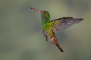 Rufous-tailed hummingbird.