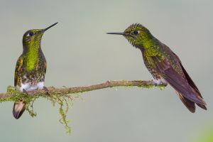 Buff-tailed coronet hummingbirds.