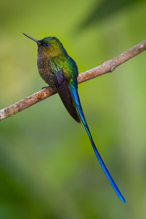 Violet-tailed sylph hummingbird.