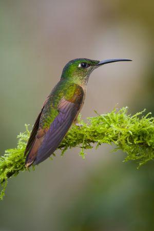 Fawn-breasted brilliant hummingbird.