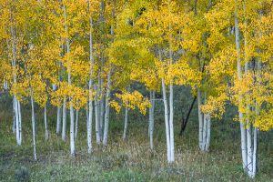 Aspen grove on Sunshine Mesa.