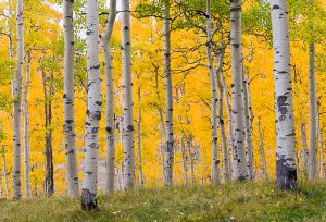 Aspen grove glowing after rain.