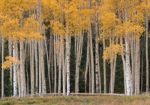 Aspens along Owl Creek Pass.
