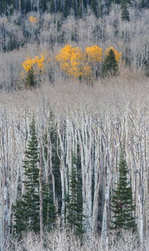 The last aspen color on Boulder Mountain.