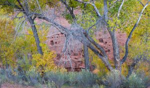 Cottonwoods and the red wall of The Gulch.