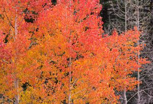 Red aspens on Boulder Mountain.