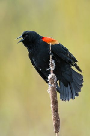 Red-winged blackbird, Oregon.
