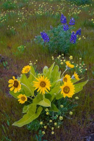 Balsamroot and lupine, Oregon.