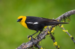 Yellow-headed blackbird, British Columbia.