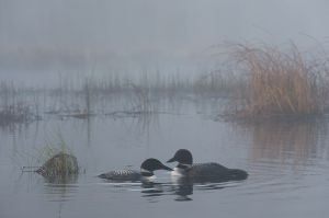 Common loon pair in fog, British Columbia.